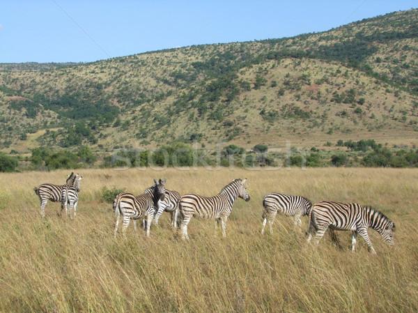 Zebras in Southafrica Stock photo © prill