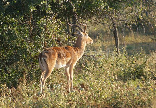 ボツワナ アフリカ 草 動物 環境 サファリ ストックフォト © prill