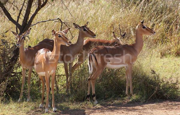 Ботсвана Африка трава животного среде Safari Сток-фото © prill