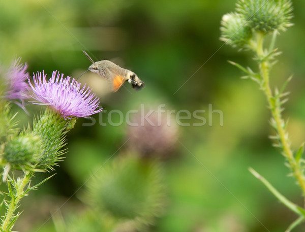 Beija-flor borboleta voador em torno de verão planta Foto stock © prill