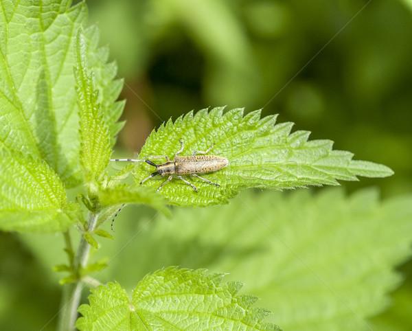 golden-bloomed grey longhorn beetle Stock photo © prill