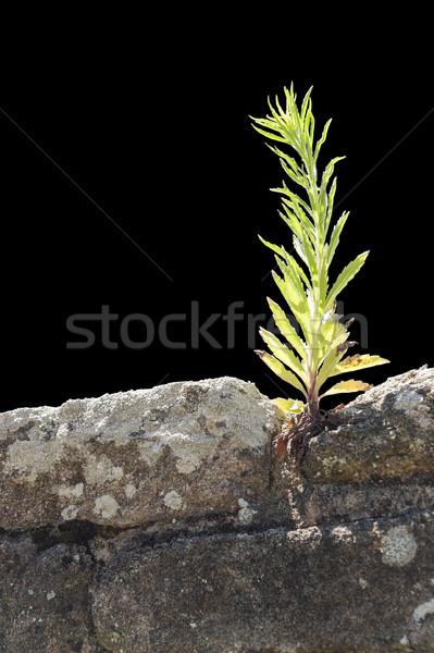 Zdjęcia stock: Roślin · ściany · słoneczny · mur · czarny