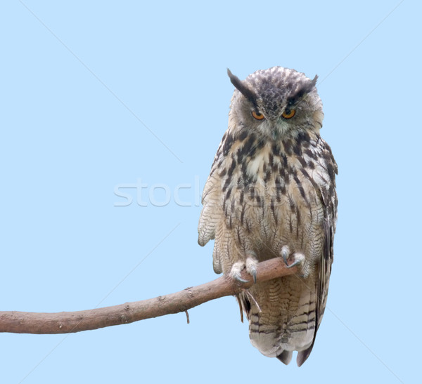 Eagle Owl Stock photo © prill