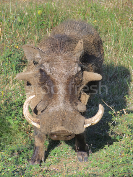 Südafrika erschossen Natur Porträt Afrika Schwein Stock foto © prill