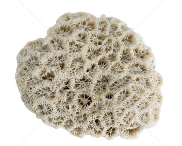 isolated stony coral Stock photo © prill
