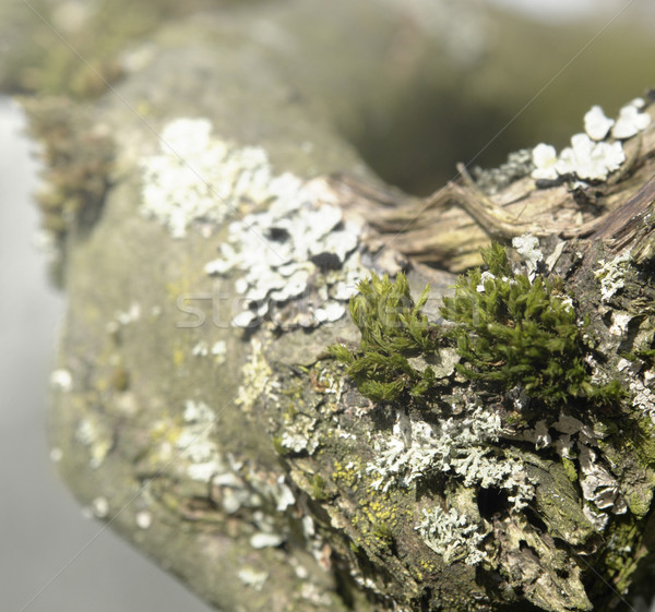 natural bough with moss and lichen Stock photo © prill