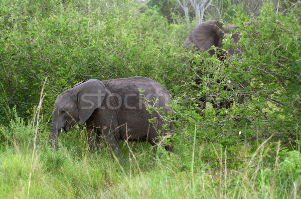 two Elephants at fed Stock photo © prill
