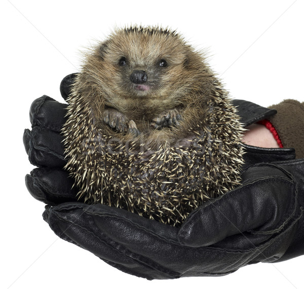 еж черный кожа перчатки Сток-фото © prill