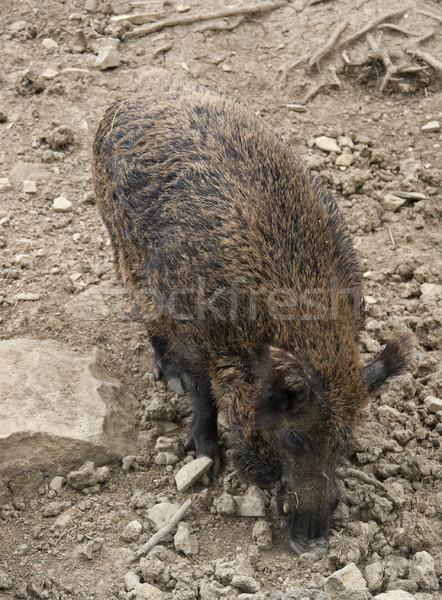wild boar in stony back Stock photo © prill