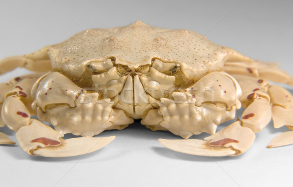 frontal shot of a moon crab Stock photo © prill