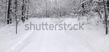 winter forest Stock photo © prill