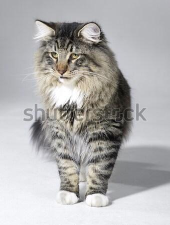 ノルウェーの 森林 猫 子猫 光 グレー ストックフォト © prill