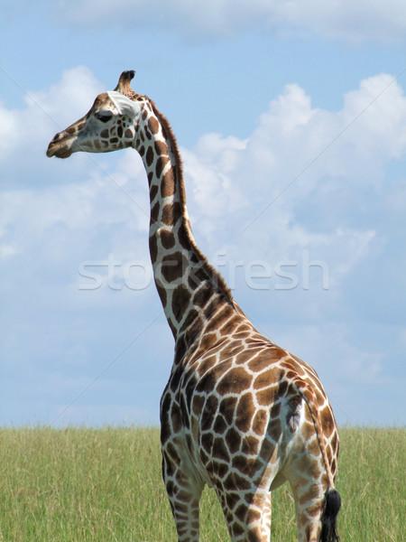Rothschild Giraffe in Uganda Stock photo © prill