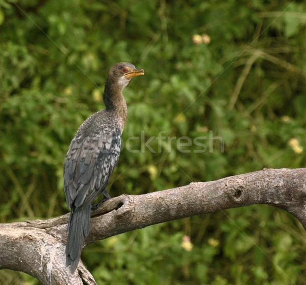 Cormorant sitting on a bough Stock photo © prill