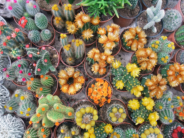 flowering cacti Stock photo © prill