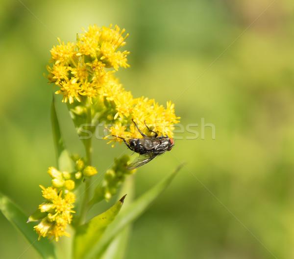 Flesh fly on yellow flower Stock photo © prill