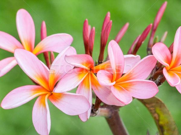 pink Plumeria blossoms Stock photo © prill