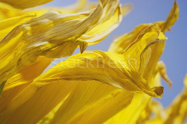 Citromsárga napraforgó szirmok részlet lövés virág Stock fotó © prill