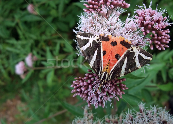 Jersey Tiger on flower Stock photo © prill