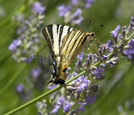 Scarce Swallowtail Stock photo © prill