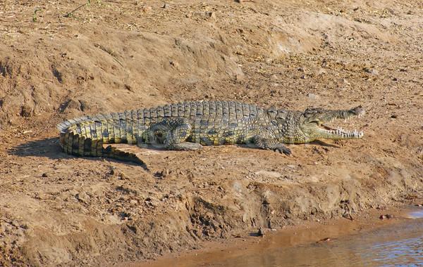 Krokodil Botswana napos díszlet Afrika víz Stock fotó © prill