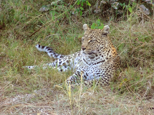 Stok fotoğraf: Leopar · zemin · oyun · rezerv · Botsvana