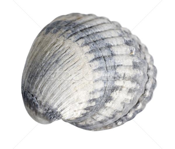 sea shell macro Stock photo © prill
