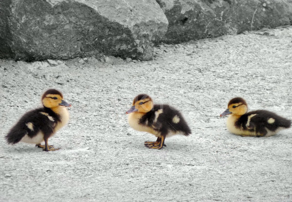 duck fledglings Stock photo © prill