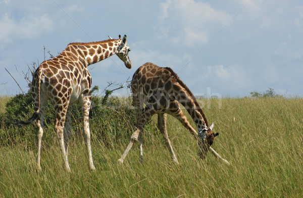 キリン アフリカ サバンナ 2 ウガンダ アフリカ ストックフォト © prill