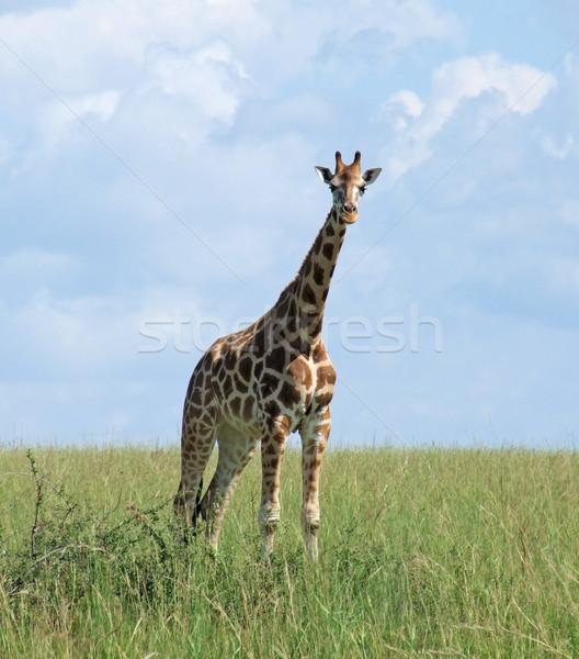 Giraffe in sunny ambiance Stock photo © prill