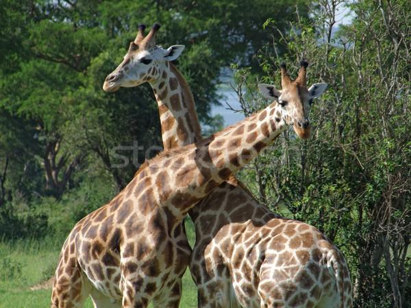 キリン 戦う アフリカ 晴れた 詳細 ウガンダ ストックフォト © prill