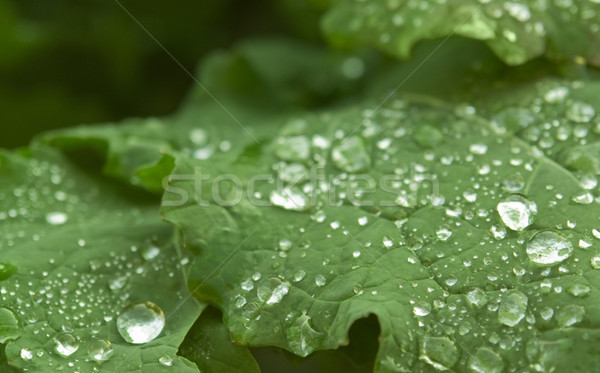 wet green leaf detail Stock photo © prill