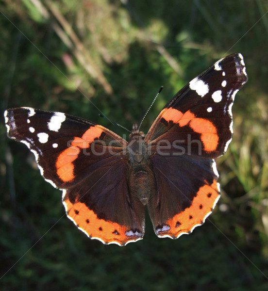 Red Admiral butterfly Stock photo © prill