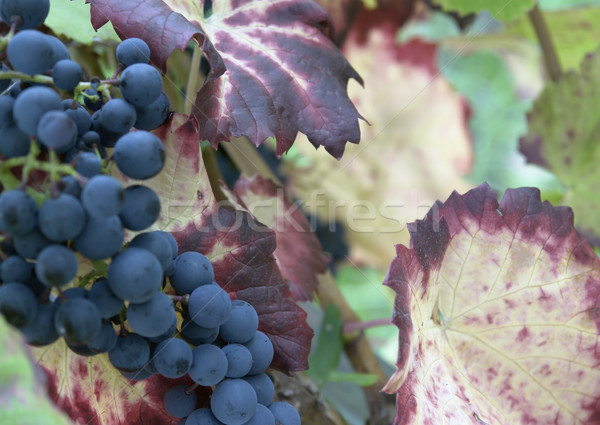 Kék szőlő közelkép részlet ősz szőlő Stock fotó © prill