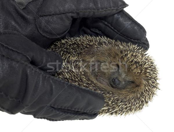 еж молодые черный кожа перчатки Сток-фото © prill