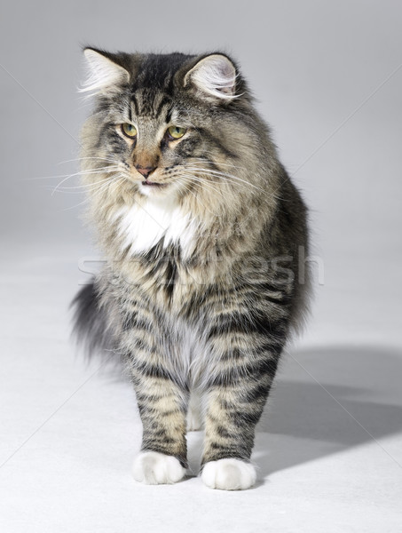 tabby Norwegian Forest cat stock photo © Achim Prill ... Tabby Norwegian Forest Cat