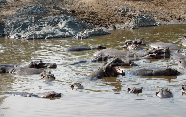 Hippos and sandy shore Stock photo © prill