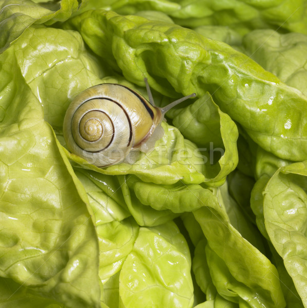 Grove snail upon green lettuce Stock photo © prill