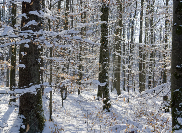 snowy forest Stock photo © prill