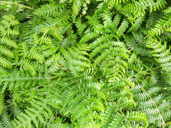 Groene varen bladeren full frame abstract achtergrond Stockfoto © prill