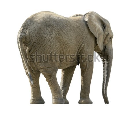 african elephant Stock photo © prill