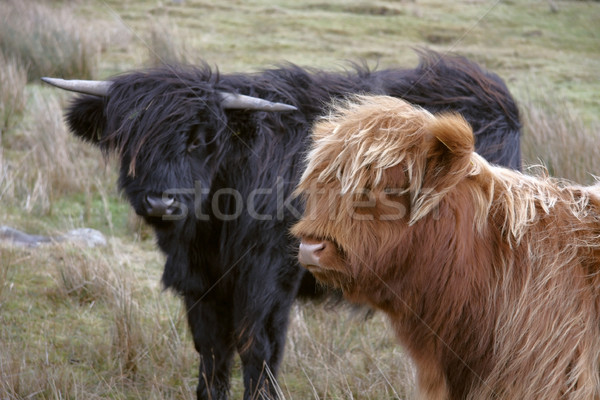 Highland cattle scenery Stock photo © prill