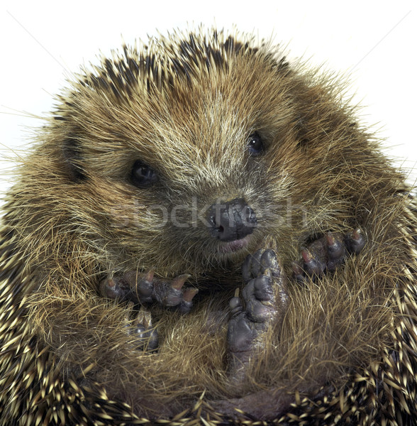 rolled-up hedgehog portrait Stock photo © prill