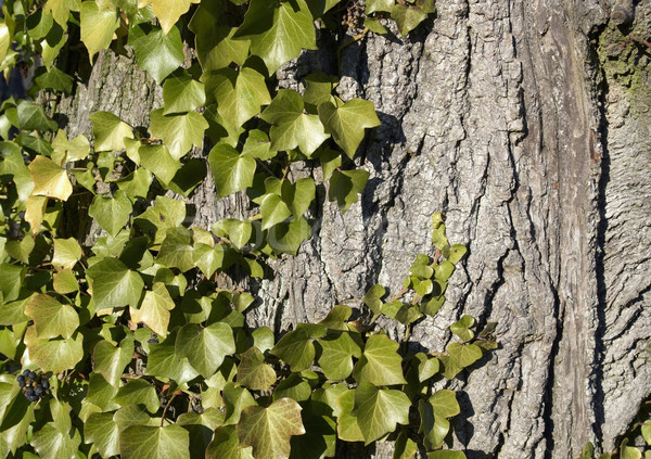 Stock photo: ivy horizontal
