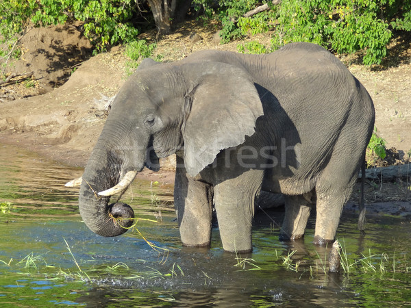 Stock photo: Elephant in Botswana