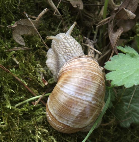 grapevine snail Stock photo © prill
