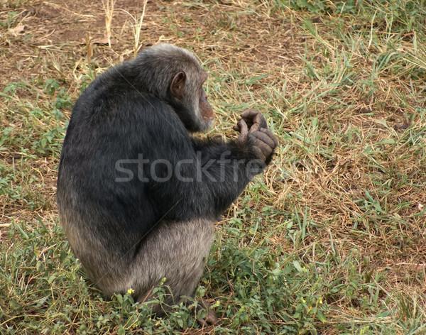 Chimpansee grasachtig grond outdoor shot Oeganda Stockfoto © prill