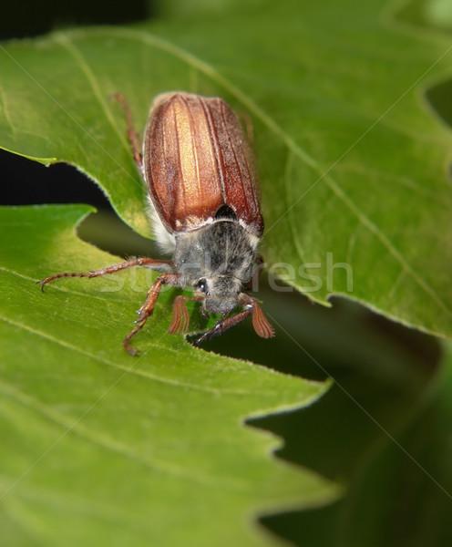 жук сидят веточка свежие листьев темно Сток-фото © prill