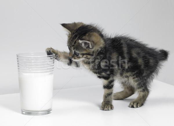 kitten touching a glass of milk Stock photo © prill