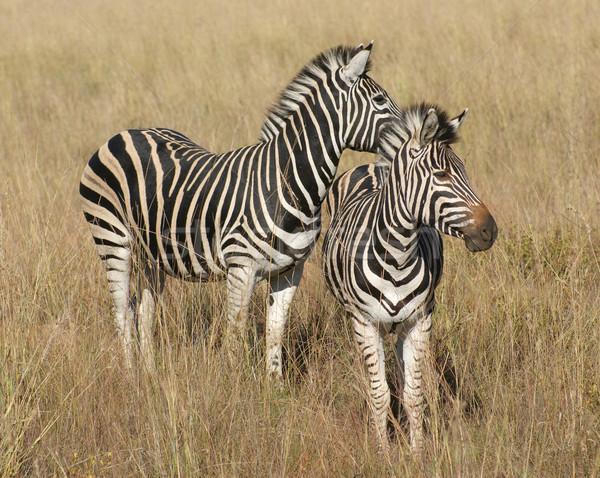 Cebras sabana soleado paisaje Botswana África Foto stock © prill